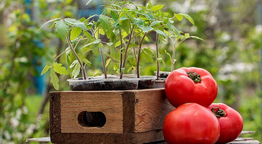 Сроки посадки помидор на рассаду в 2019