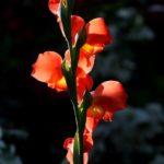 цветы по знаку зодиака Овен