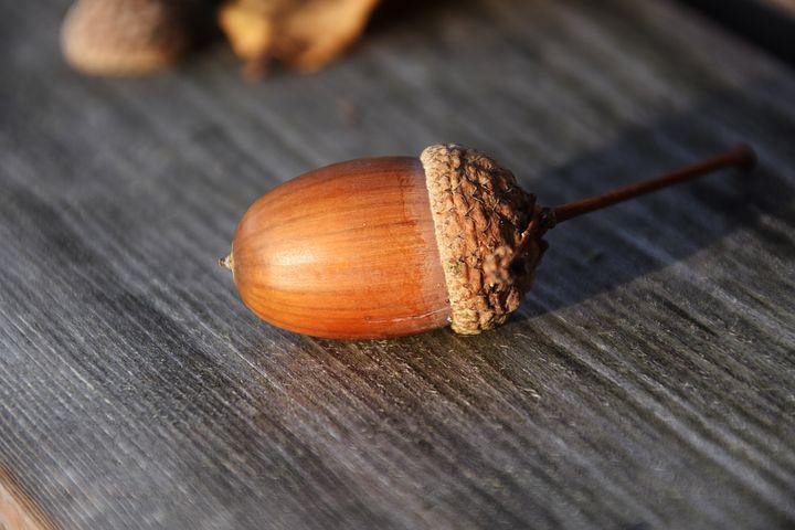 Плод дуба - желудь