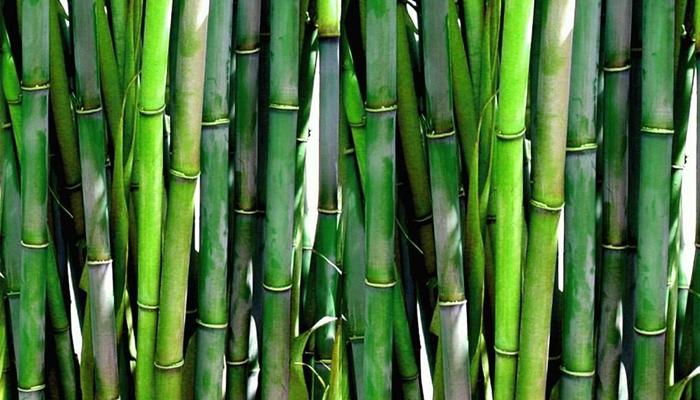 Бамбуковое дерево