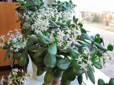 цветение-растения-толстянка-фото