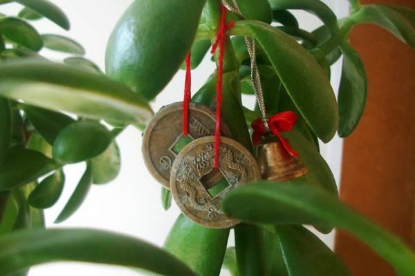 цветок денежное дерево приметы и суеверия